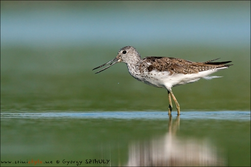 Common Greenshank seemed to be uncommon here. © Gyorgy Szimuly