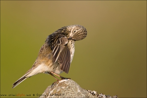 We could enjoy Meadow Pipit 'wall to wall' through our binoculars. © Gyorgy Szimuly