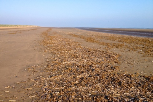 Bed of Razor Shells were the favourite feeding site for dozens of Ruddy Turnstone and Sanderling. Some birds should be on this image. © Gyorgy Szimuly