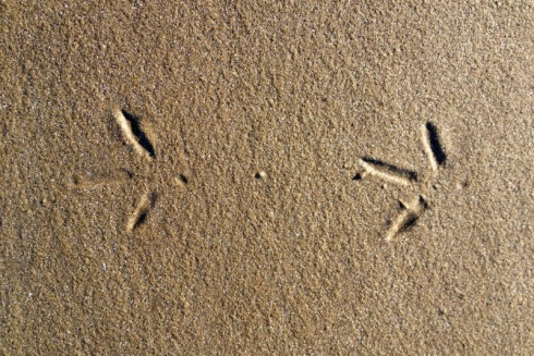 Footprint of Eurasian Oystercatcher. © Gyorgy Szimuly
