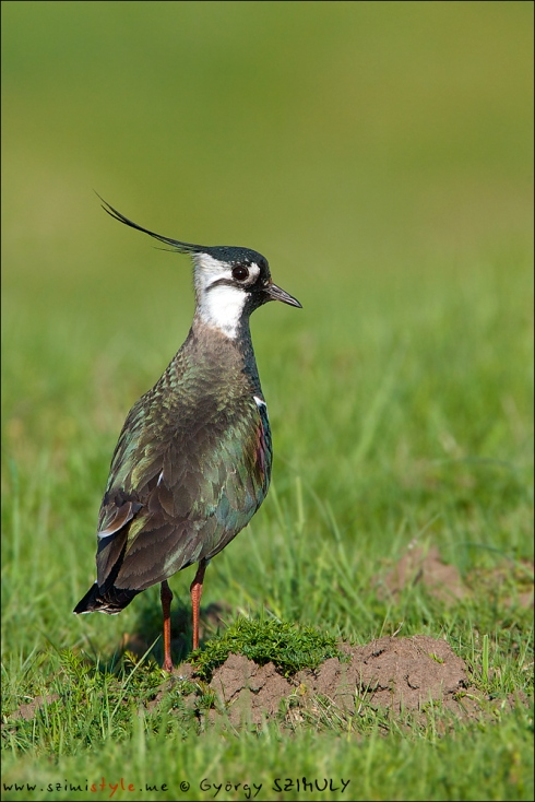 Some Northern Lapwings were already incubating. © Gyorgy Szimuly