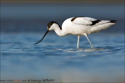 Non incubating Pied Avocets were feeding on the little pools of the mudflat of the Wash. © Gyorgy Szimuly